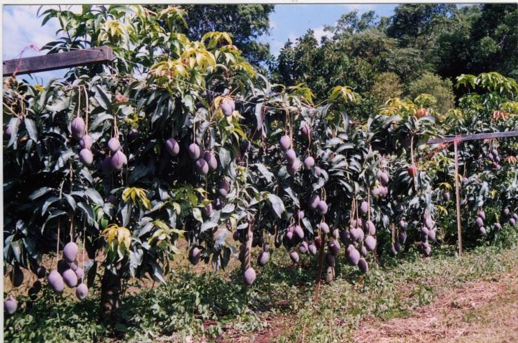 Mangoes at farm at Amamoor - donated by Cacilia Michalowitz