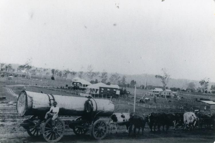 Bullock Team, Imbil. Imbil Railway. Source Lindsay Harris